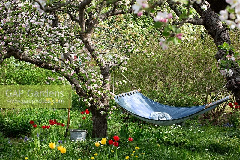Spring garden with old fruit trees in bloom and hammock