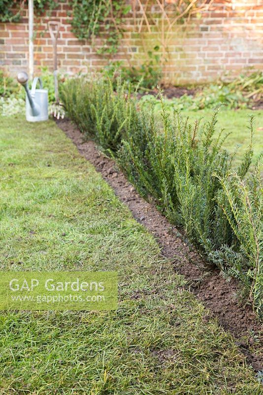 Fully planted Yew hedge