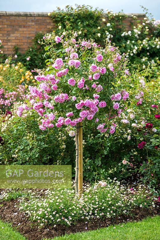 Rosa 'Harlow Carr' standard underplanted with Erigeron karvinskianus.