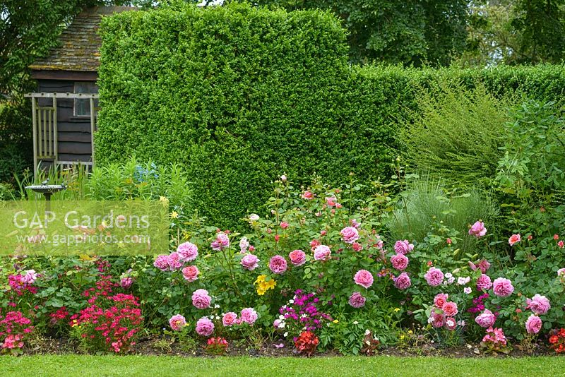 Mixed border in front of box hedge with Rosa 'Princess Alexandra of Kent', aquilegias, bedding dianthius Salpiglossis sinuata and begonias.