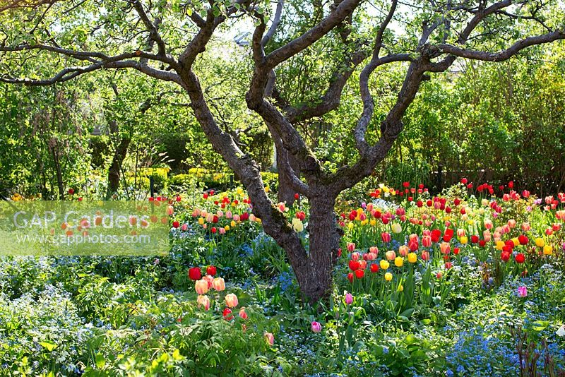 Old fruit trees and tulips in country garden