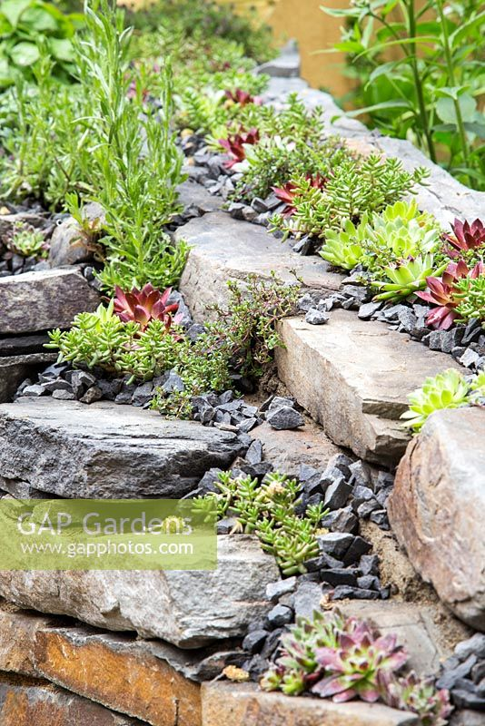 Sempervivum and Thymus growing within Dry Stone wall. Artisan Garden: Get Well Soon.