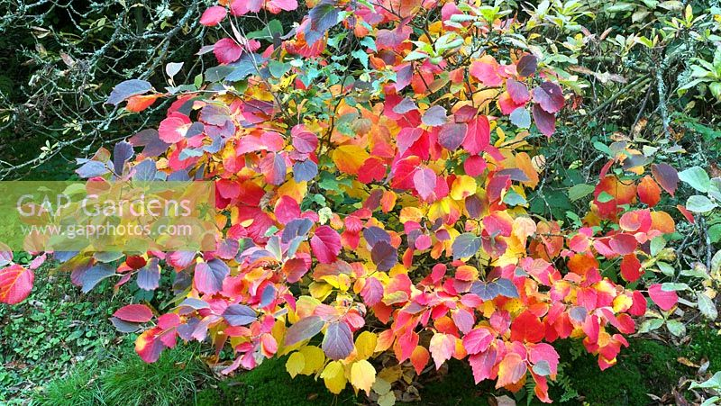 Gap gardens fothergilla major deciduous shrub with dark green fothergilla major deciduous shrub with dark green leaves that turn red orange and yellow mightylinksfo