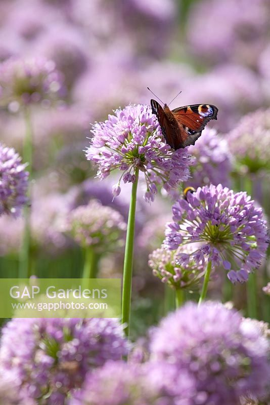 Allium senescens with Peacock butterfly