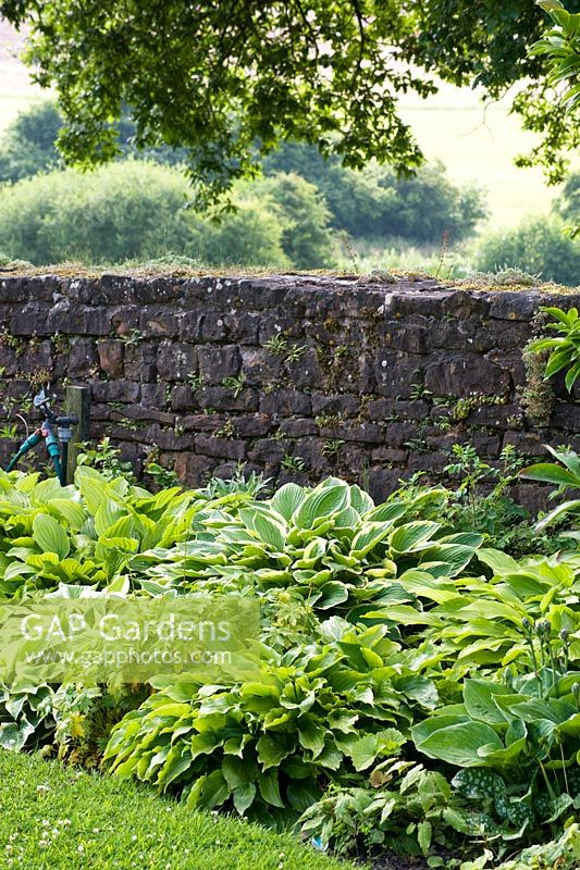 Stone wall at boundary of garden behind shady border of hostas