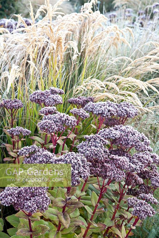 Stipa calamagrostis, Sedum telephium 'Matrona' with hoar frost