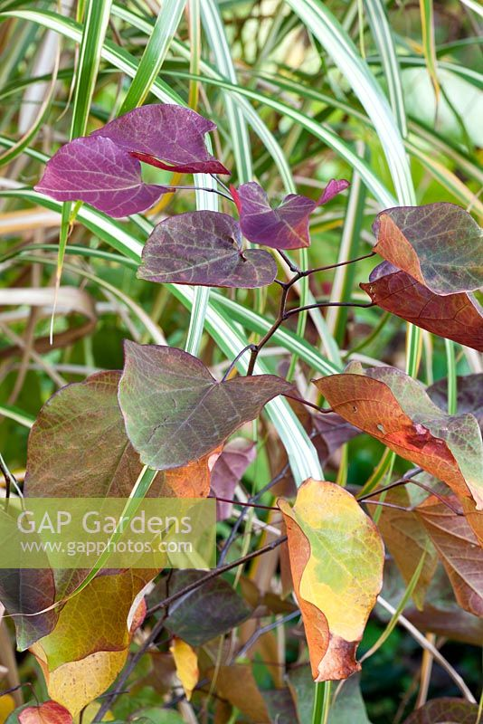 Miscanthus sinensis 'Cabaret' with Cercis canadensis 'Forest pansy'