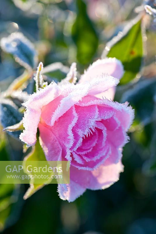 Rosa 'Pearl Mirato' with hoar frost