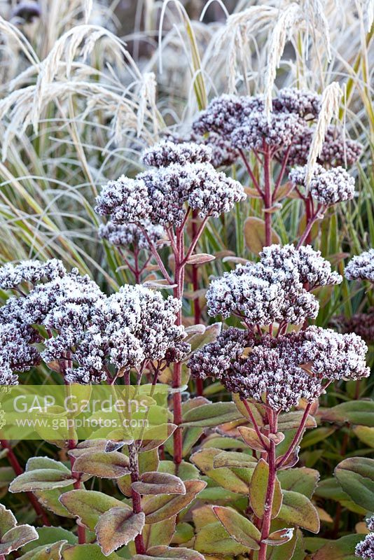 Stipa calamagrostis and Sedum telephium 'Matrona' with hoar frost