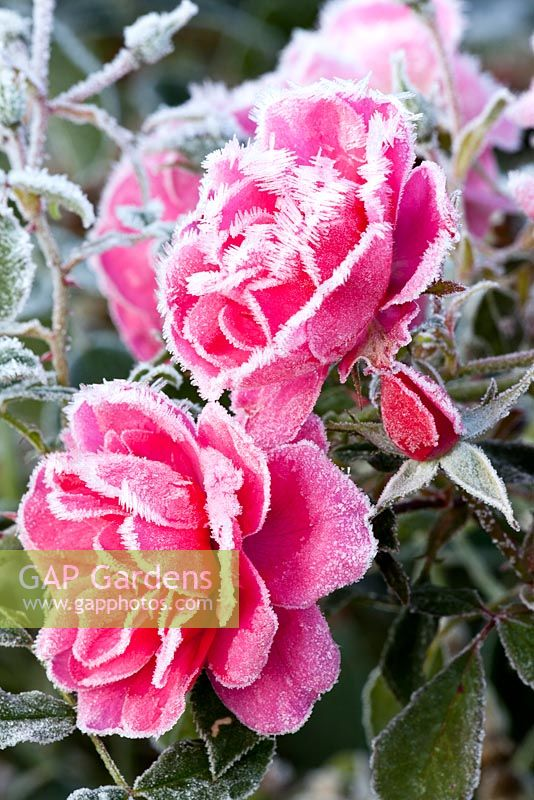 Rosa 'Mirato' with hoar frost