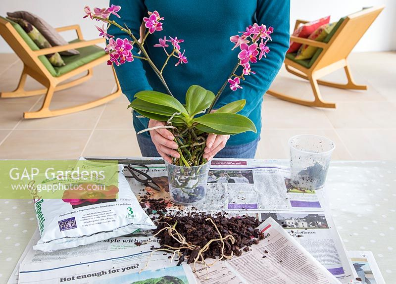 Placing Phalaenopsis - Moth Orchid in new pot