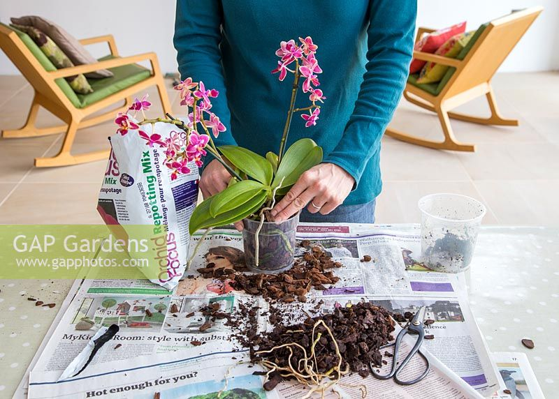 Firming Orchid into pot
