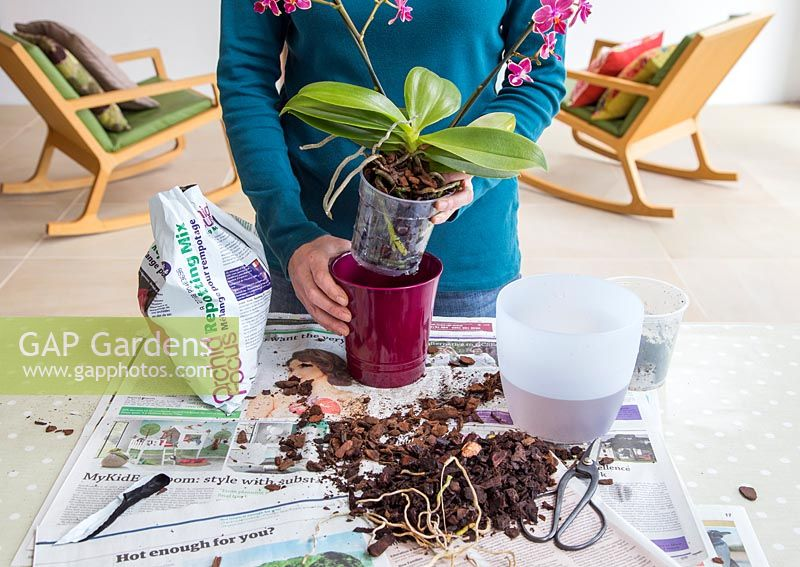 Placing Phalaenopsis - Moth Orchid in decorative pot.