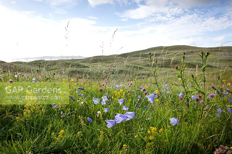 Campanula rotundifolia, Trifolium pratense and Galium verum - Scottish Bluebell, Harebell, Red and White Clover and Ladys Bedstraw on South Harris, Outer Hebrides.