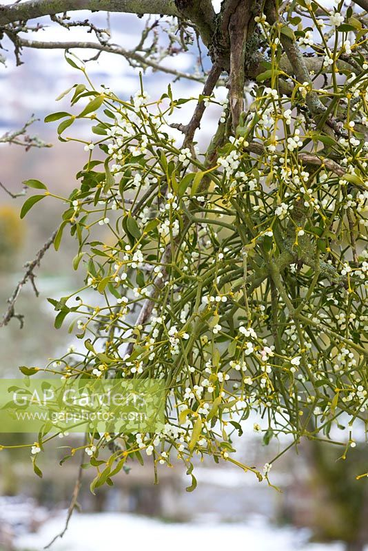 Viscum album - Mistletoe growing on fruit trees on a snowy winter's day in an orchard in Worcestershire.
