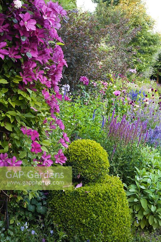 Summer border. Box topiary. Clematis 'Cardinal Wysynski'