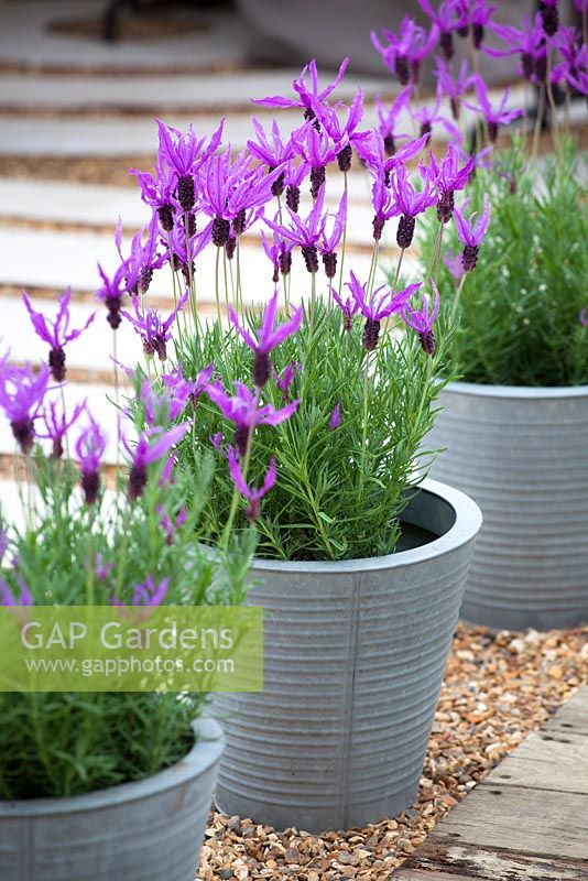Lavandula stoechas - French lavender, Spanish lavender  growing in galvanised metal pots at the RHS Chelsea Flower Show 2013
