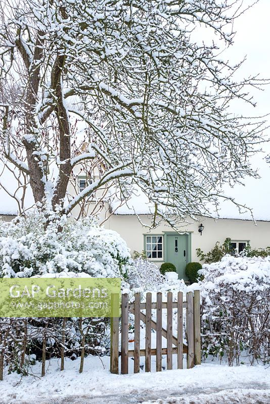 View to thatched house in winter framed by old pear tree. Hawthorn hedge with rustic gate. Front door with box balls.