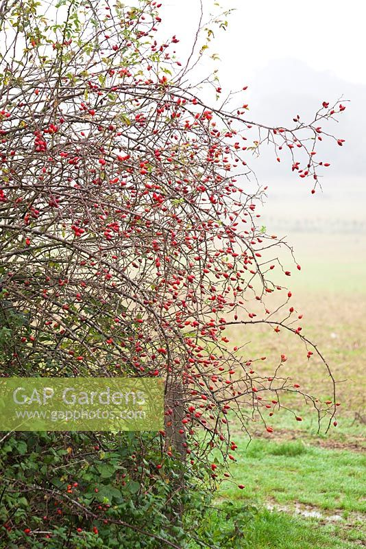 Rosa canina. Wild Rosehips in a hedgerow. Dog Rose