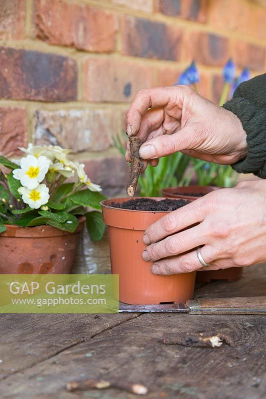 Planting root cuttings of Papaver orientale