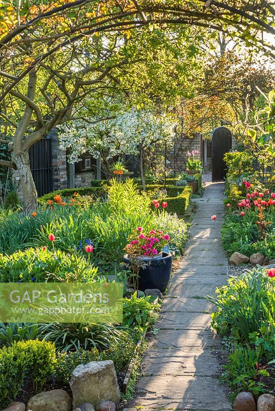 Formal town garden in spring. Tulips, quince tree under-planted with spring bulbs and ferns, roses trained over arches, box edging, Morello cherry in bloom.