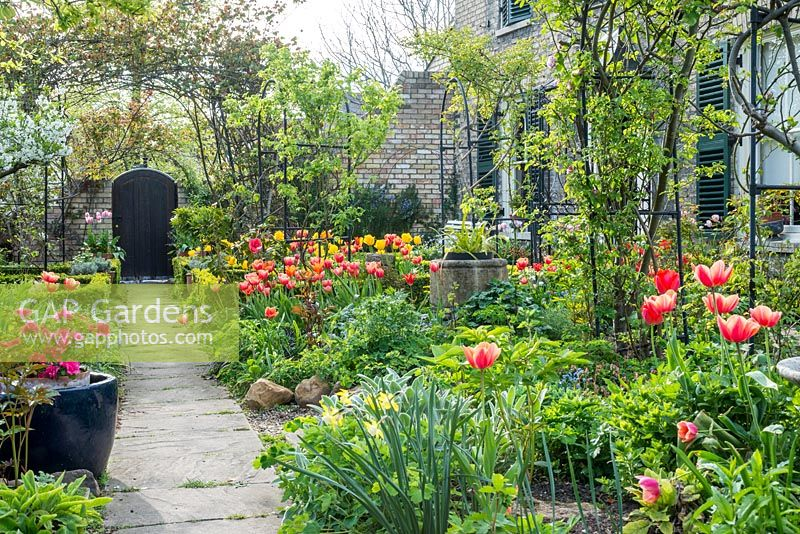 Formal town garden in spring. View along path with roses trained over arches, box edging, azalea in pot and tulips.