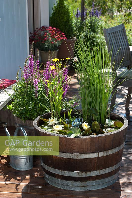 Planting water lily plants in wooden barrel - barrel filled with water and plants
