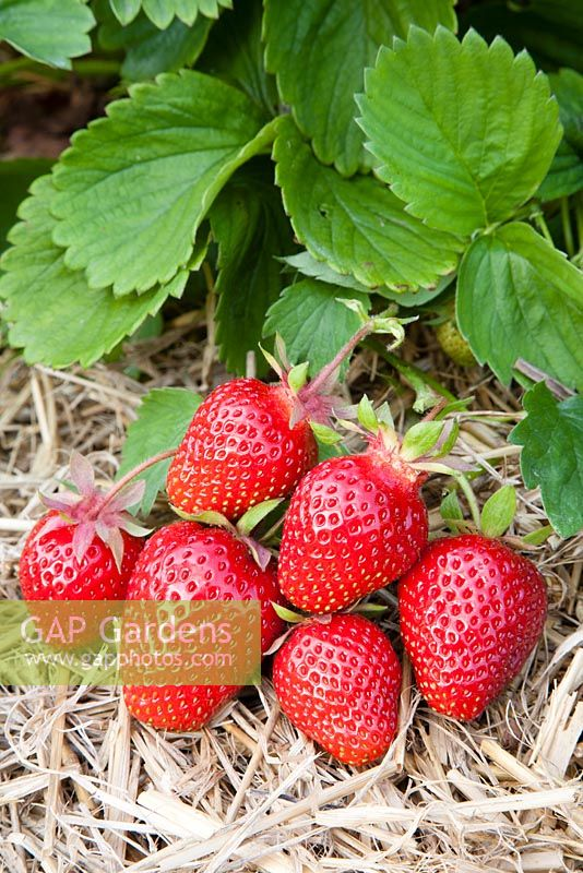 Fragaria x ananassa 'Symphony' - Strawberry