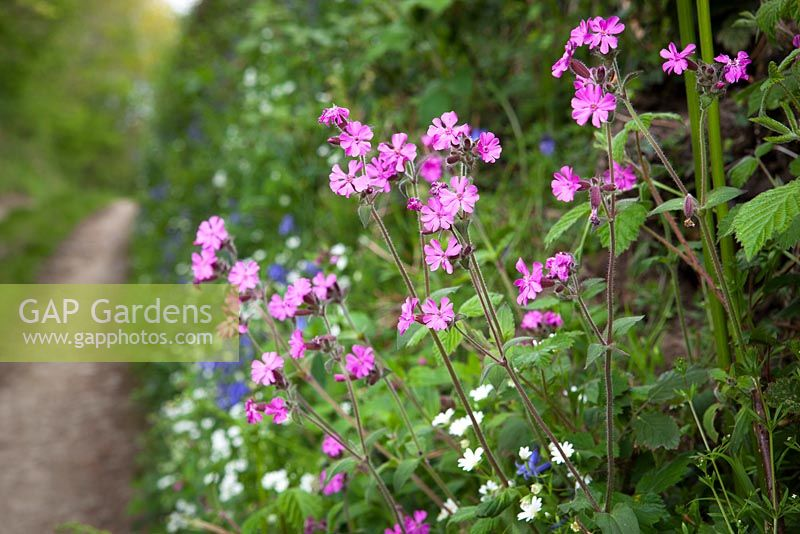 Red Campion, Greater Stitchwort and Bluebells growing in a Devon hedgerow. Silene dioica, Stellaria holostea, Hyacinthoides non-scriptus