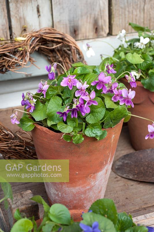 Viola odorata displayed in pots - cultivated and wild varieties