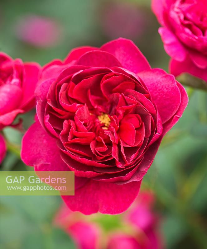 Rosa 'Darcey Bussell' (Ausdecorum) - David Austin English Rose, Double/Full bloom, scented