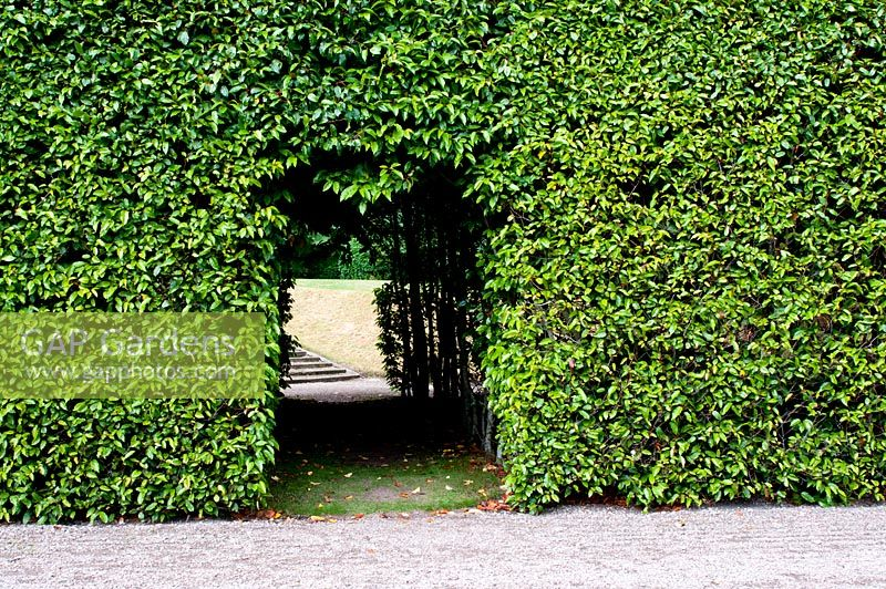 how to cut laurel hedge