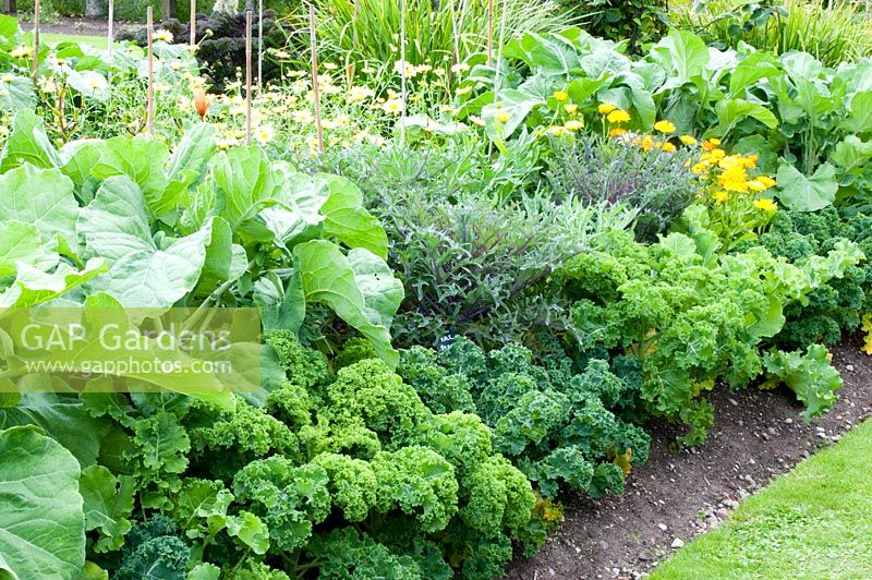 Kale Sutherland Pea And Starbor With Companion Planting Of Marigold In A Vegetable Bed