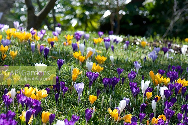 Crocus vernus growing in lawn at Wisley RHS Garden