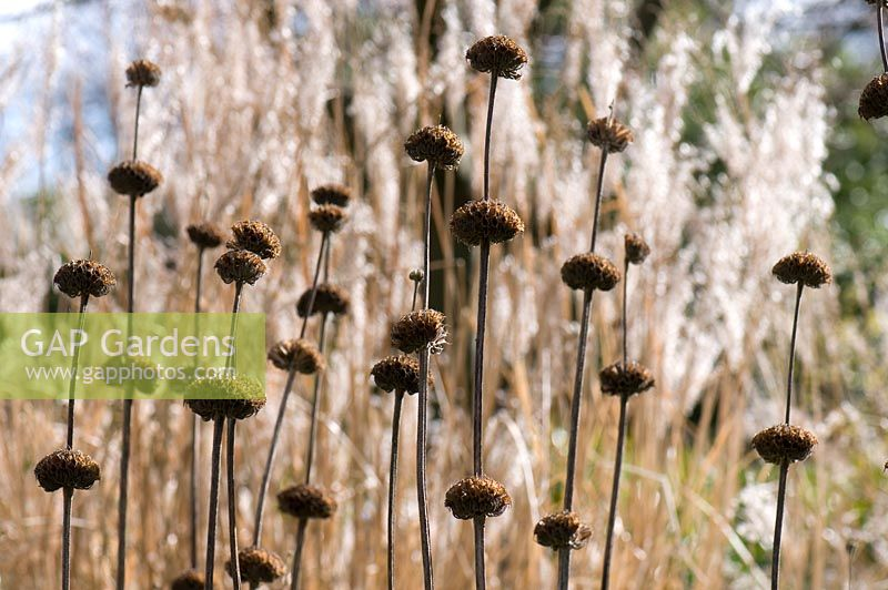 Phlomis russeliana seedheads with Miscanthus sinensis. Sir Harold Hillier Gardens.