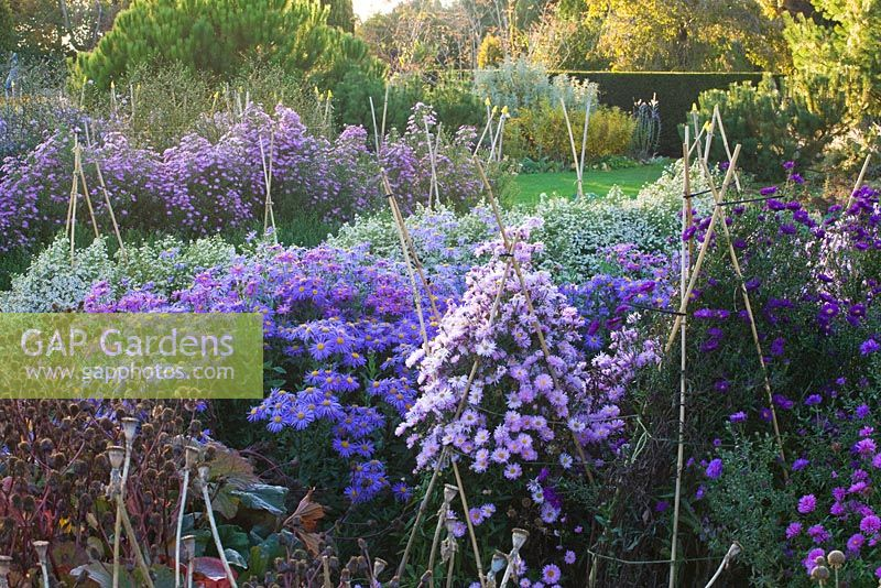 Asters in the trial beds. Waterperry Gardens, Oxfordshire