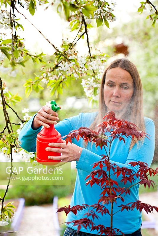 Woman spraying homemade organic pesticide made of wormwood on Japanese maple.