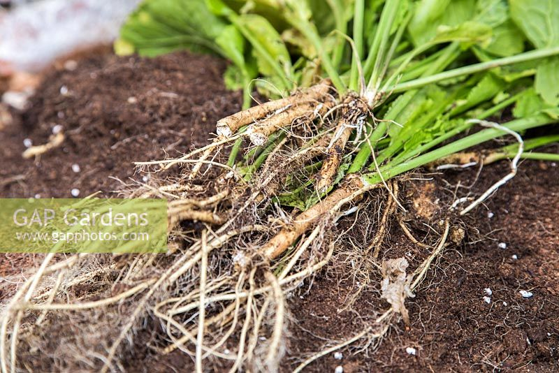 Harvested roots of Horseradish.