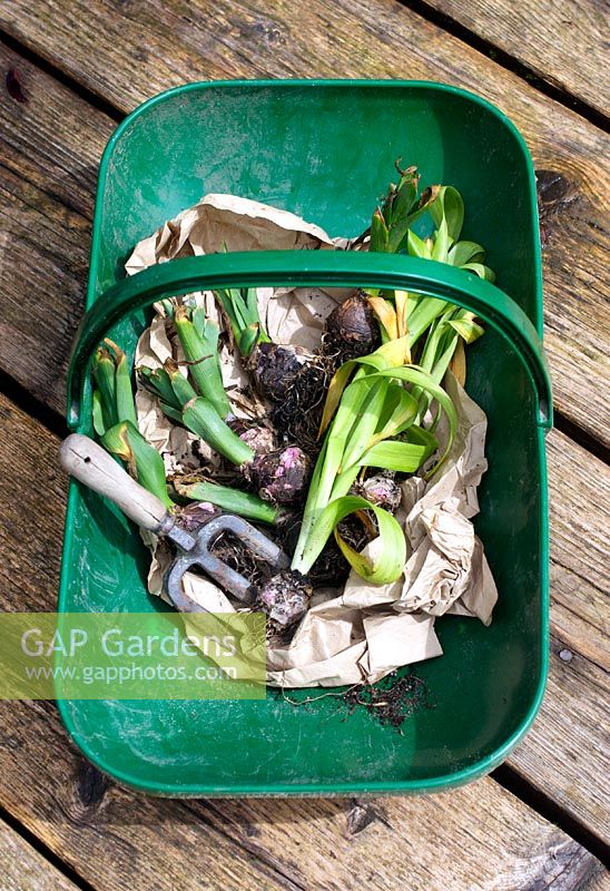 Wrapping up used Hyacinth bulbs for storage