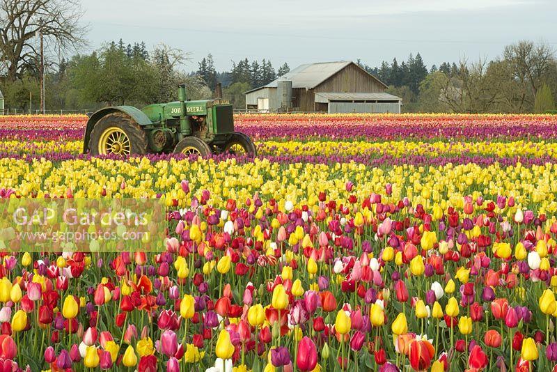 Spring field with mixed Tulipa -  Tulips, tractor, and barn at the annual Wooden Shoe Tulip Festival.