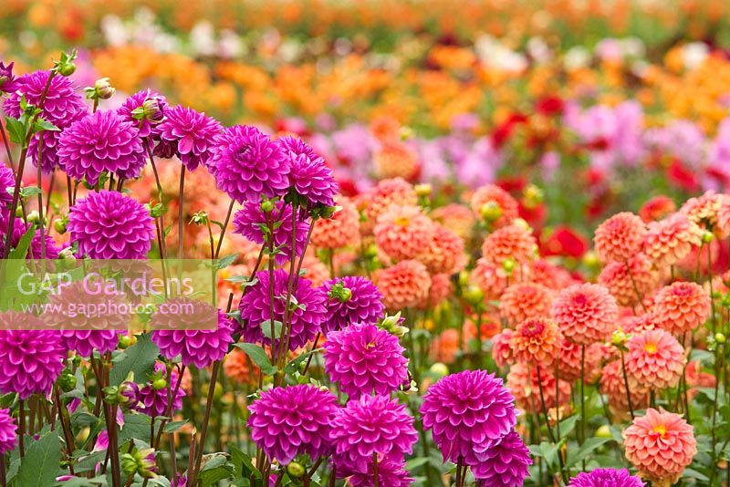 Summer dahlia fields with rows of colourful flowers. Dahlia 'Gonzo Grape' and Dahlia 'Gingeroo'