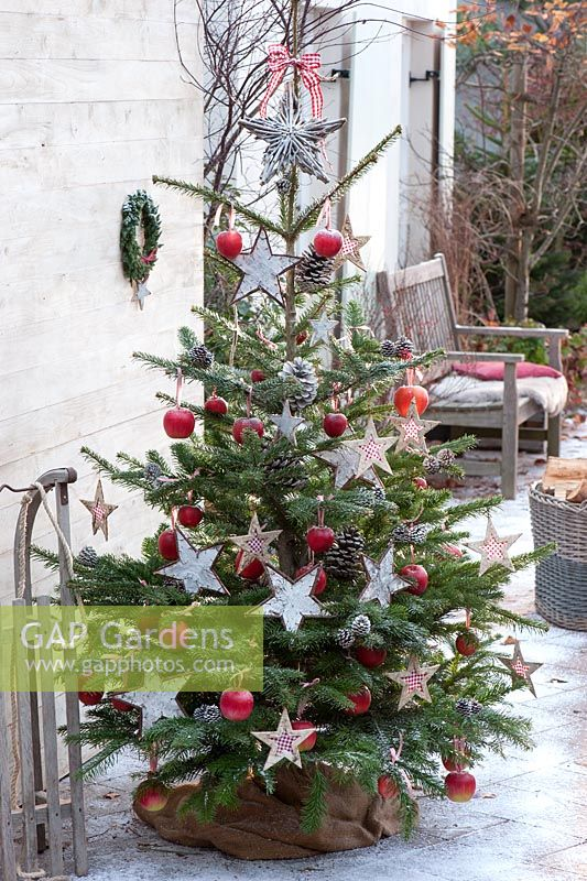 Christmas tree - Abies nordmanniana decorated with Apples