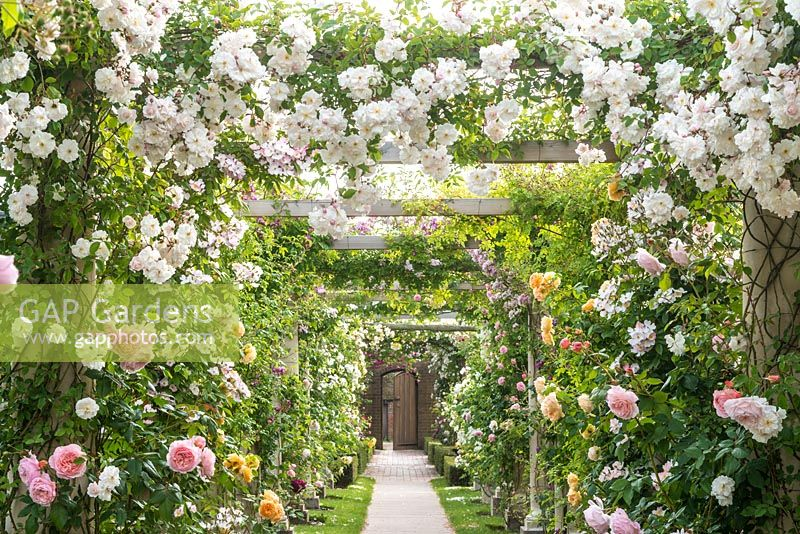 Rose covered pergola Pergola with Rosa 'Adelaide D'Orleans'. The Long Garden, David Austin Roses, Albrighton, Staffordshire.