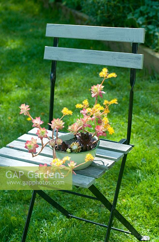 echeveria succulent in enamel container on wooden garden seat