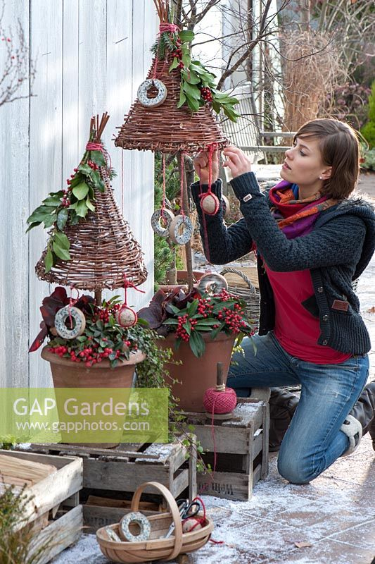 Decorative pots planted with skimmia and  Hedera - Ivy - woman hanging decorations from wicker structure