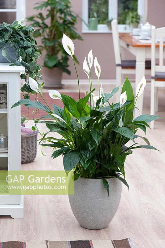 Spathiphyllum 'Claudius' in grey pot
