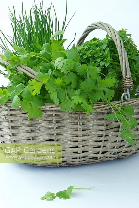 Collection of herbs in a basket - flatleaf Parsley , Chives and Greek basil