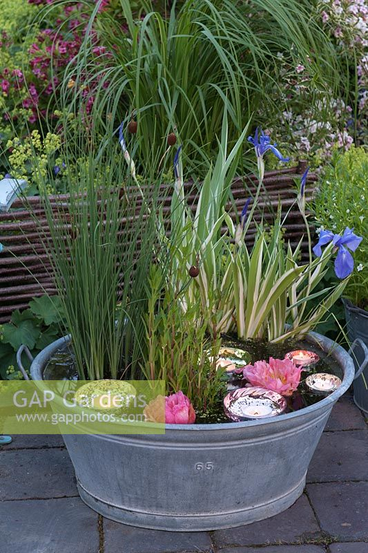 Old metal washtub with marsh plants as a mini-pond - Iris pallida 'Aurea Variegata' - Yellow Striped Iris, Typha minima - dwarf cattail and Mimulus ringens - Blue Monkey Flower blooms of Paeonia - peony and glass cups for tea lights floating in the water
