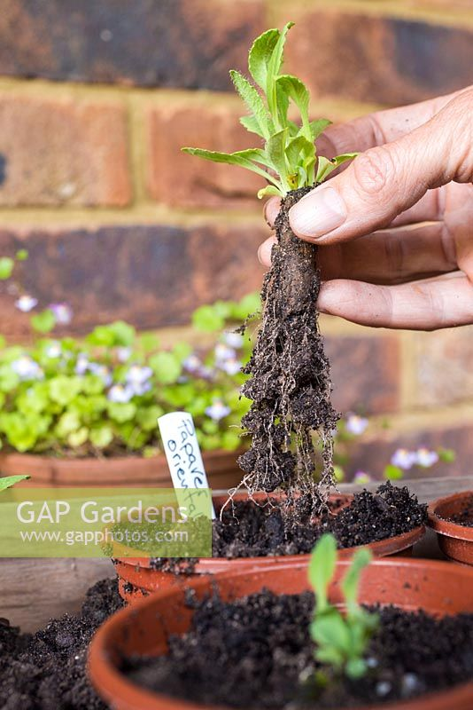 Potting on root cuttings from Papaver orientale.