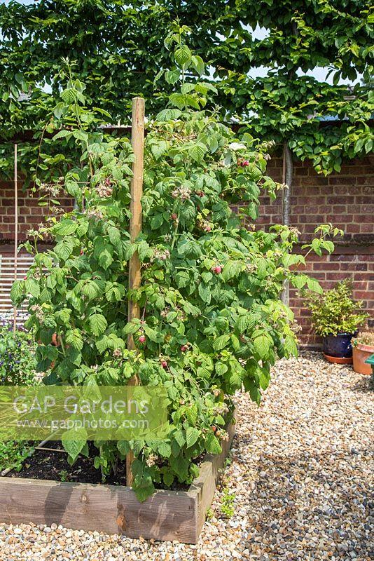 Planting Bare Root Raspberries | Raspberries | Raspberry ...
